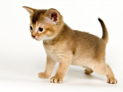 golden katzengenetik vererbung der fellfarben und fellmuster bei katzen. Black Bedroom Furniture Sets. Home Design Ideas