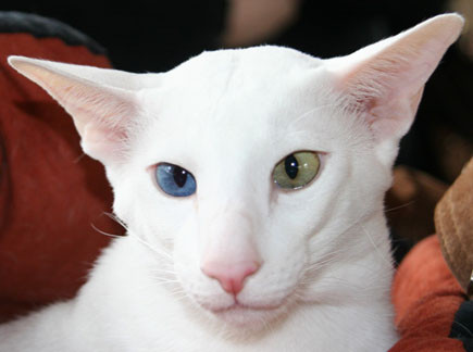 OKH white, odd eyed, Bildquelle: cat-world. com-au
