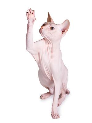 Nacktkatze, Sphynx Katze, Bildquelle: fotolia.de, (c) Svetlana Yudina