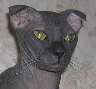 Urkainische Levkoy, Bildquelle: commons.wikimedia.org, (c) Alena Ivanchuk, Ukrainische Levkoy, Nacktkatze mit nach vorne gebogenen Ohren, Kreuzung: Sphynx/Scottish Fold