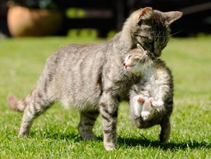 Zähne, Katzen, Katze mit Jungem, Bildquelle: © Carola Schubbel - Fotolia.com
