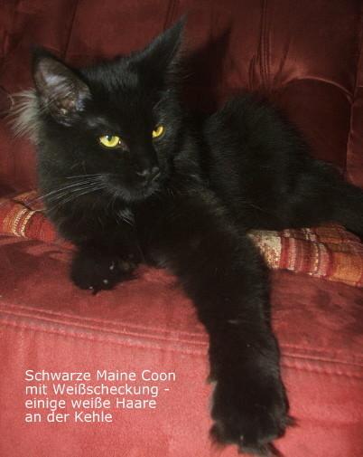 schwarze Maine Coon mit geringer Weißscheckung, Foto: privat