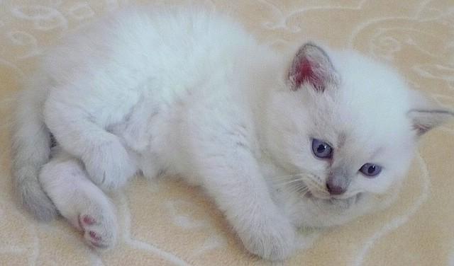 Katzen, BKH, lilac-point, 4 1/2 Wochen alt
