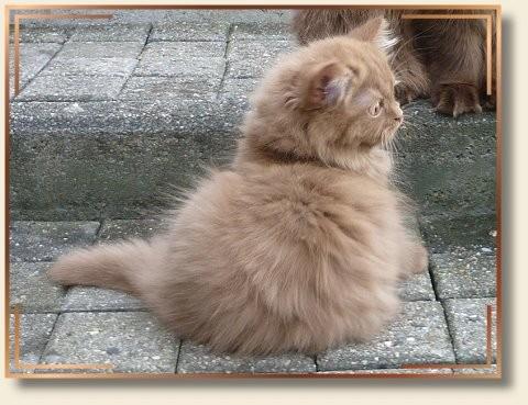 Britisch-Langhaar-Katze, cinnamon, Besitzerin: Petra Bank-Schenck