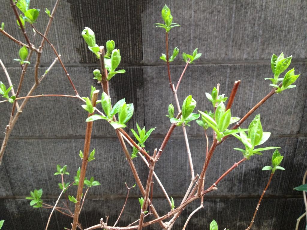 春の新芽2012