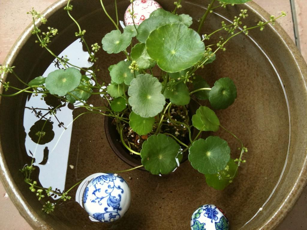 今年初めての水連鉢と浮き玉