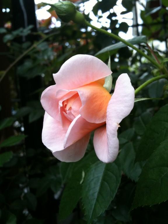 やっと咲いたバラ