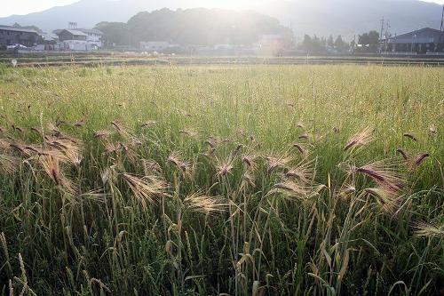 裸麦 (2018/5/27、photo by 自然農・いのちのことわり)