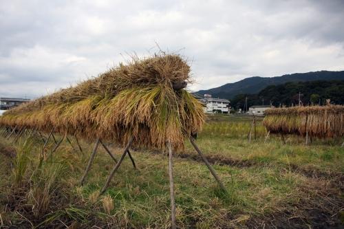 稲刈りの様子(2018/11/17、photo by 自然農・いのちのことわり)