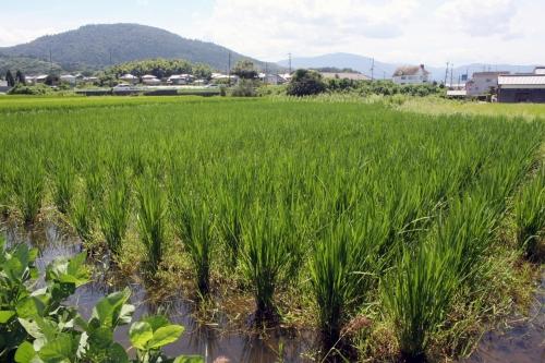 成長期の稲(2018/8/18、photo by 自然農・いのちのことわり)