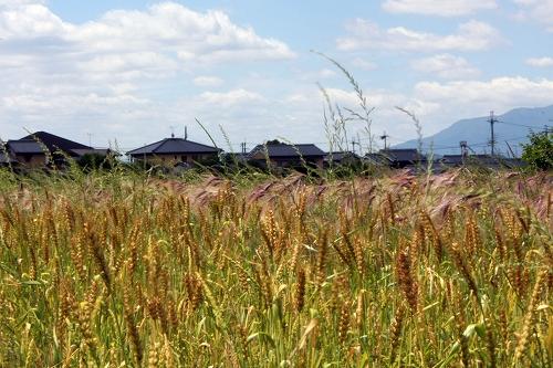 小麦(手前)、裸麦(奥)の様子(photo by 自然農・いのちのことわり)