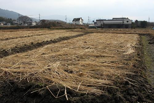 一回目の草刈り後、藁ふりをした様子(photo by 自然農・いのちのことわり)