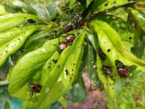 スモモの葉に群がるコガネムシ