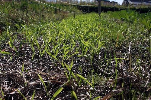 小麦の苗床の様子(photo by 自然農・いのちのことわり)