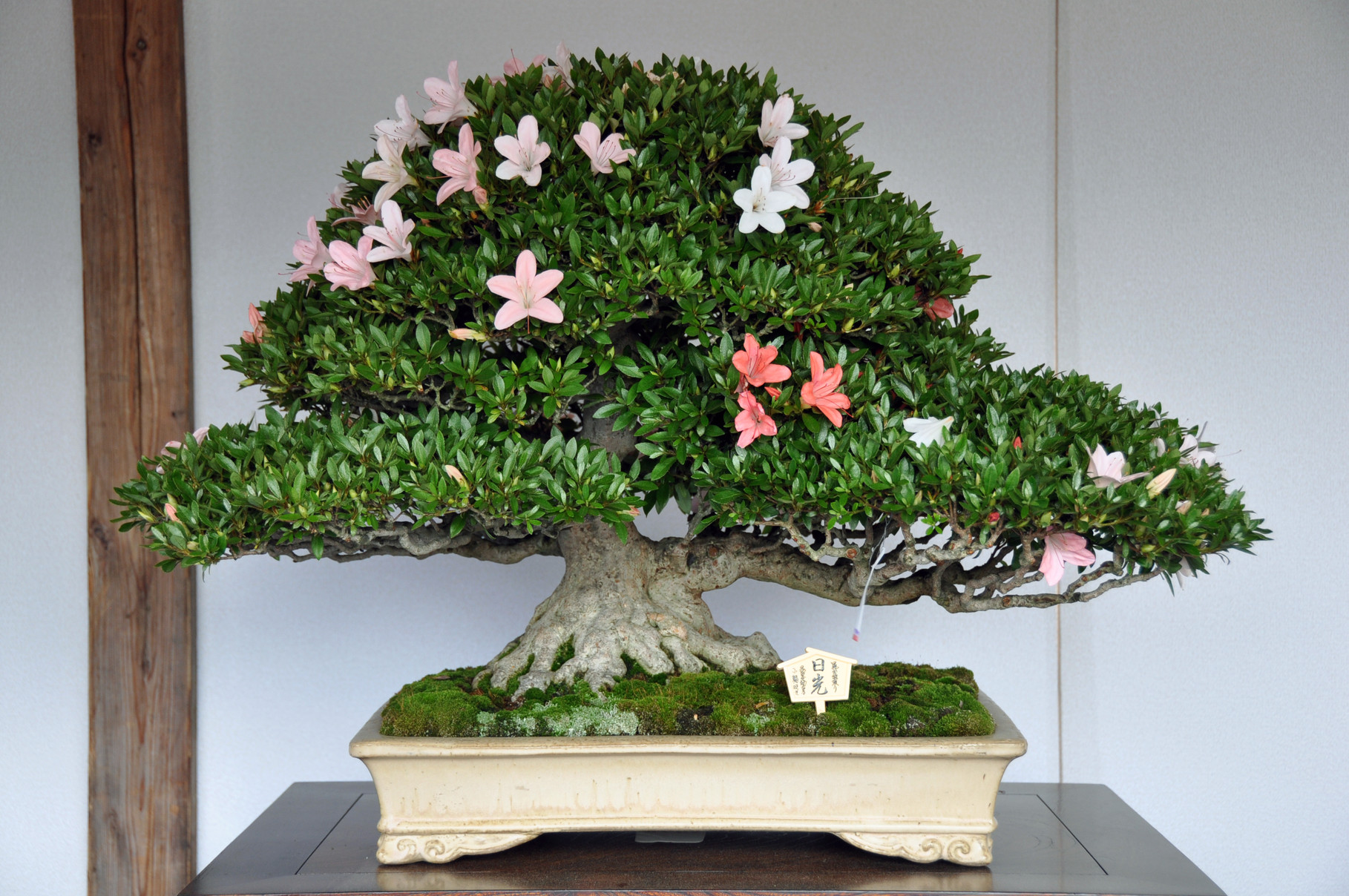 Kanuma Mayor Award, Cultivar Nikko