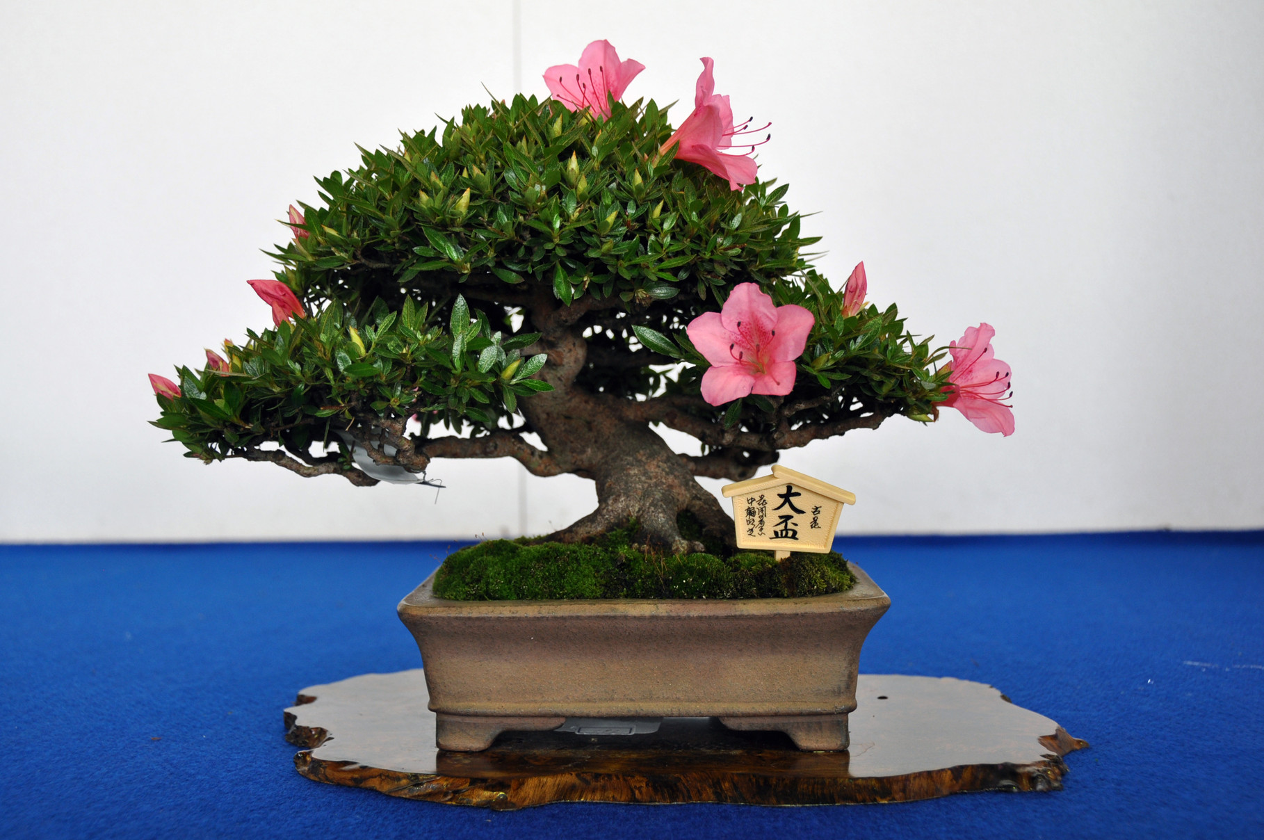 Minister of Agriculture, Forestry and Fisheries Award, Cultivar Kashiwa-no-Hoshi