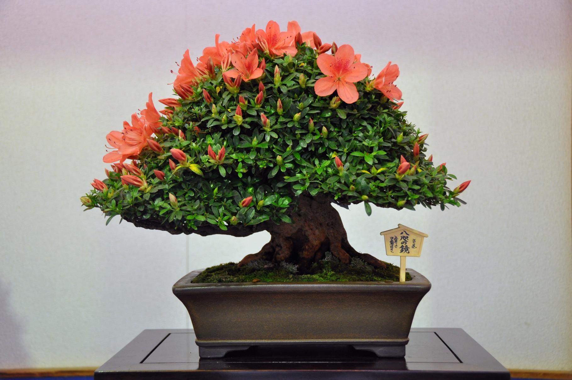 Prime Minister Award, Cultivars Osakazuki