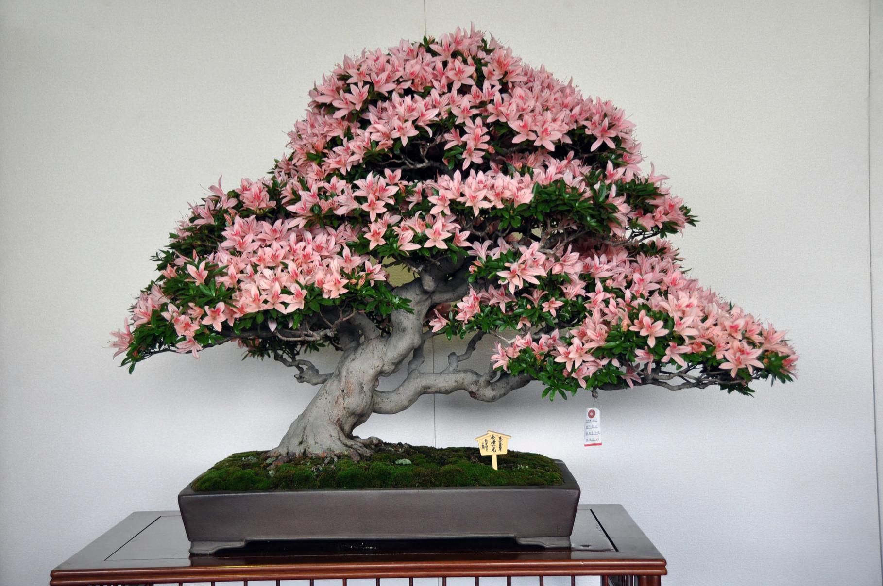 Tochigi Prefecture Award, Cultivar Shuho-no-Hikari