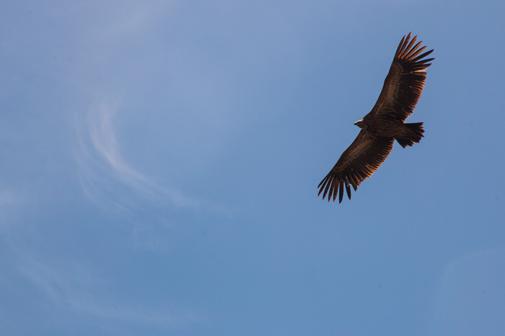 Kreisender Adler vor blauem Himmel