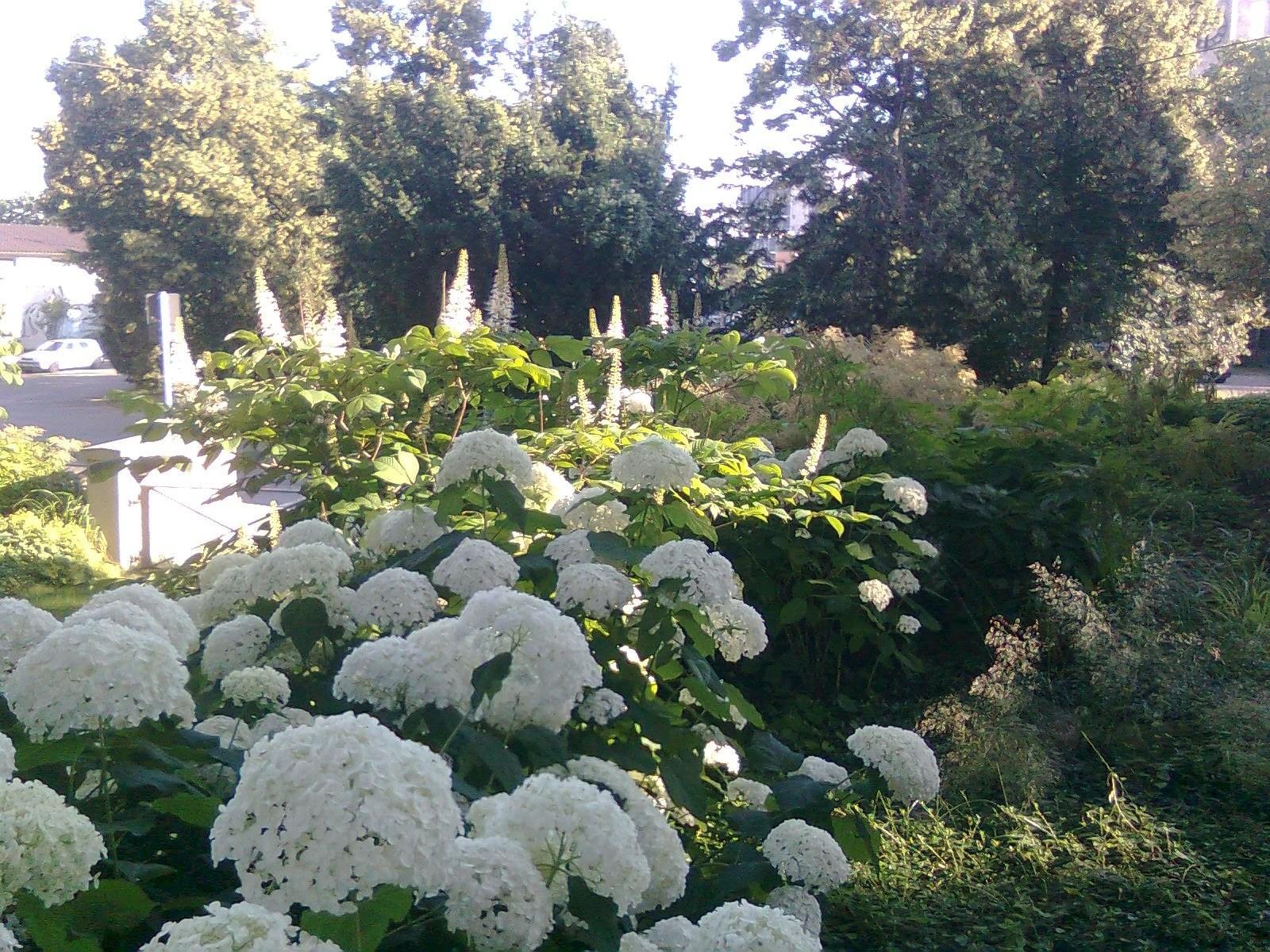 Eindrucksvolle Pflanzung mit Hortensien