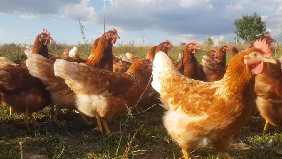 Stallpflicht für Geflügel wird wieder aufgehoben
