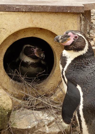 Humboldtpinguine beim Brutgeschäft