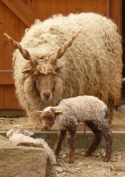 Zackelschaf-Mutter mit neugeborenen Jungtieren
