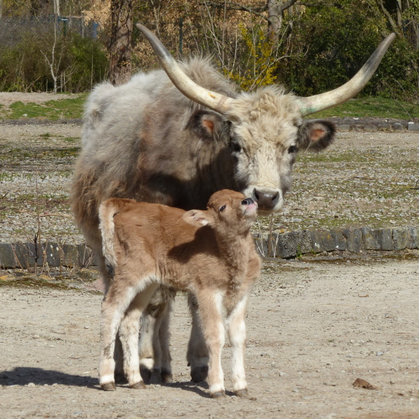 Vier Tage altes Steppenrindkalb mit seiner Mutter.