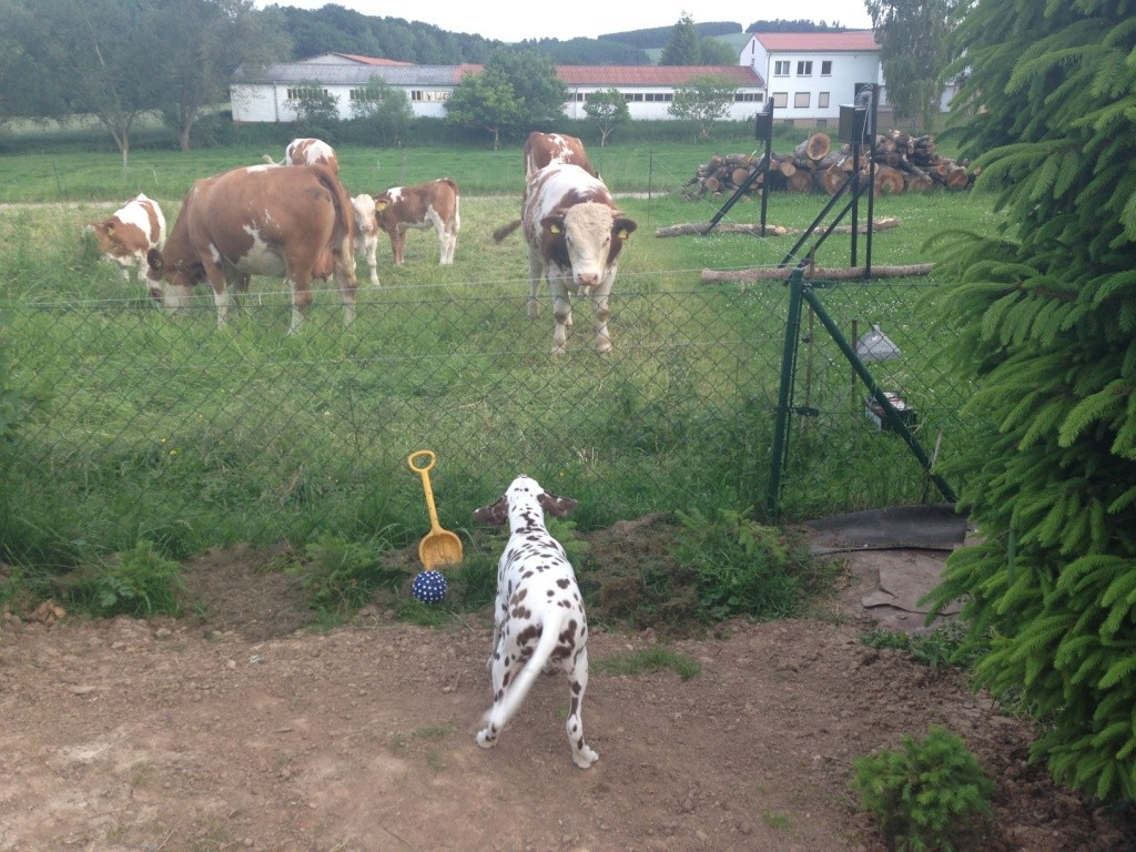 Rosa fordert die Kühe zum spielen auf