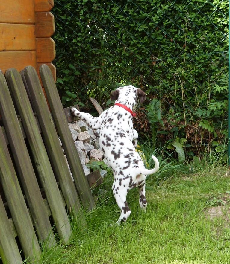 Lotte erforscht unseren Garten. Ob sie schon ahnt, wo das neue Welpenhaus hinkommen soll?