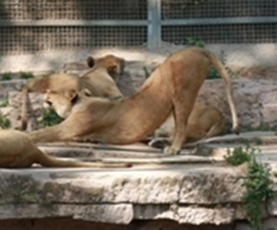 Львы в Барселоне