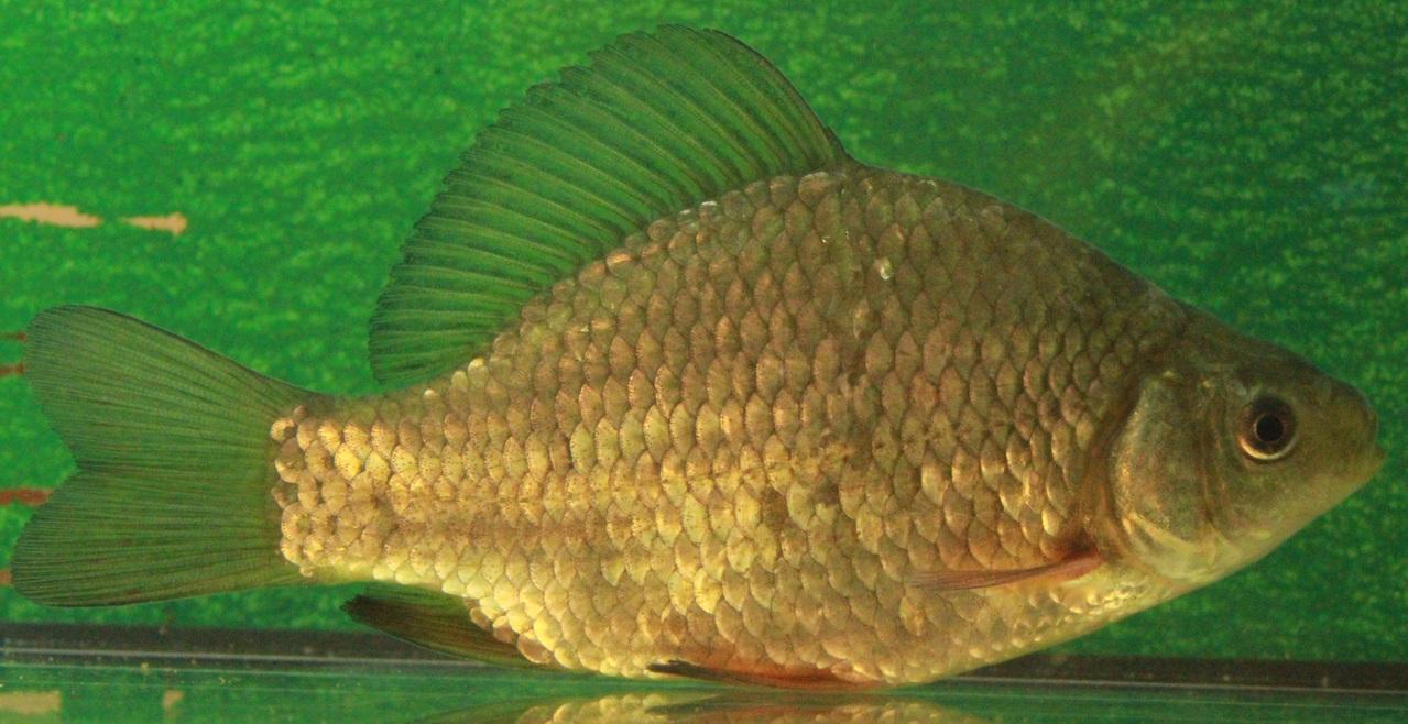Fische fischzucht wetterfeld fisch und forschungszentrum for Fische gartenteich geeignet
