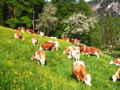 die Kühe sind wieder auf der Weide