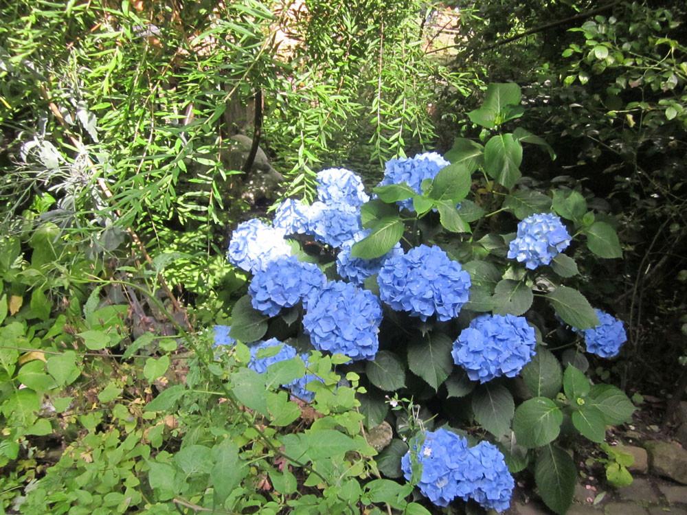 Hortensienpracht im Garten der Galerie