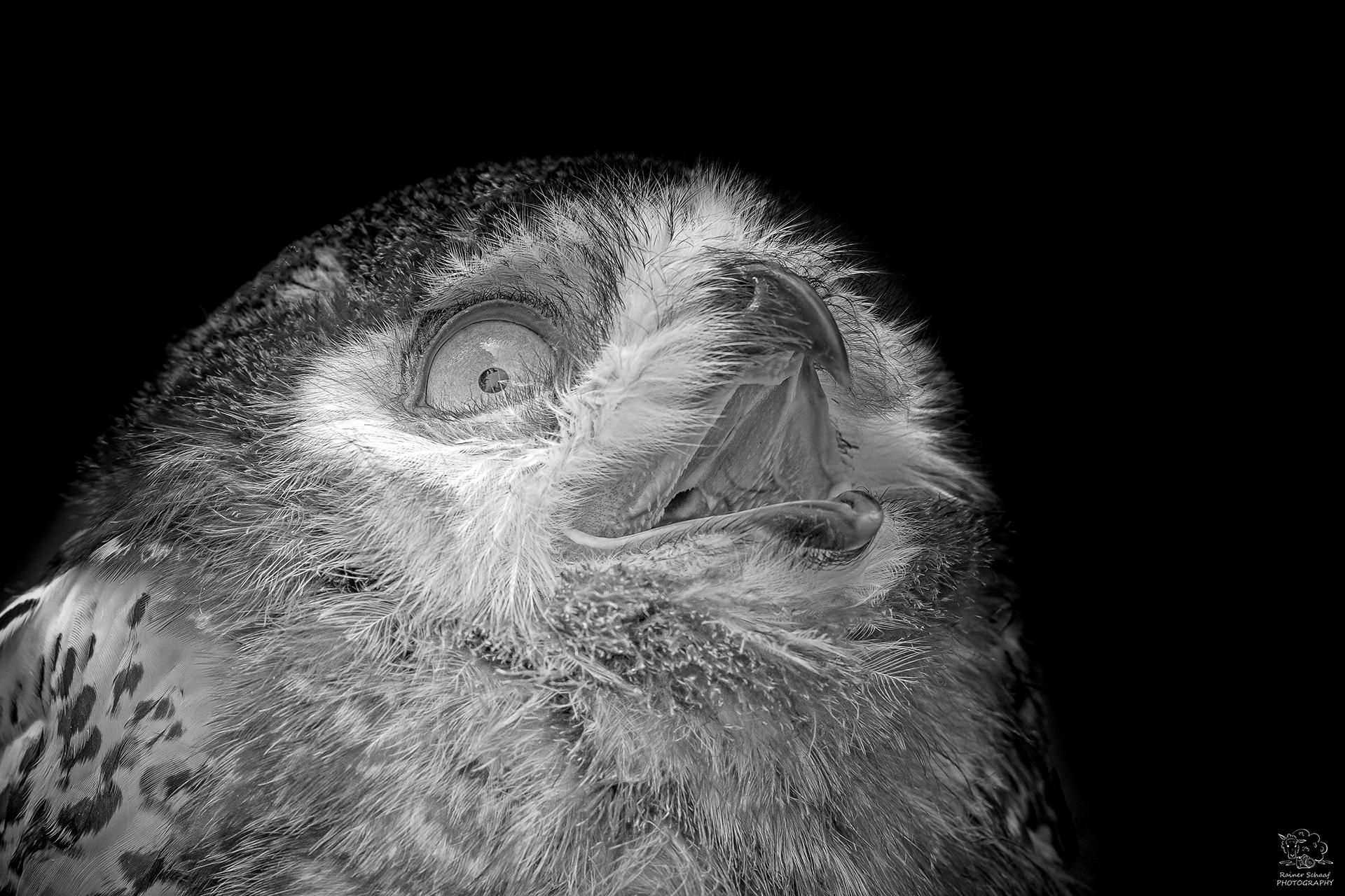 Schnee-Eule (Bubo scandiacus)