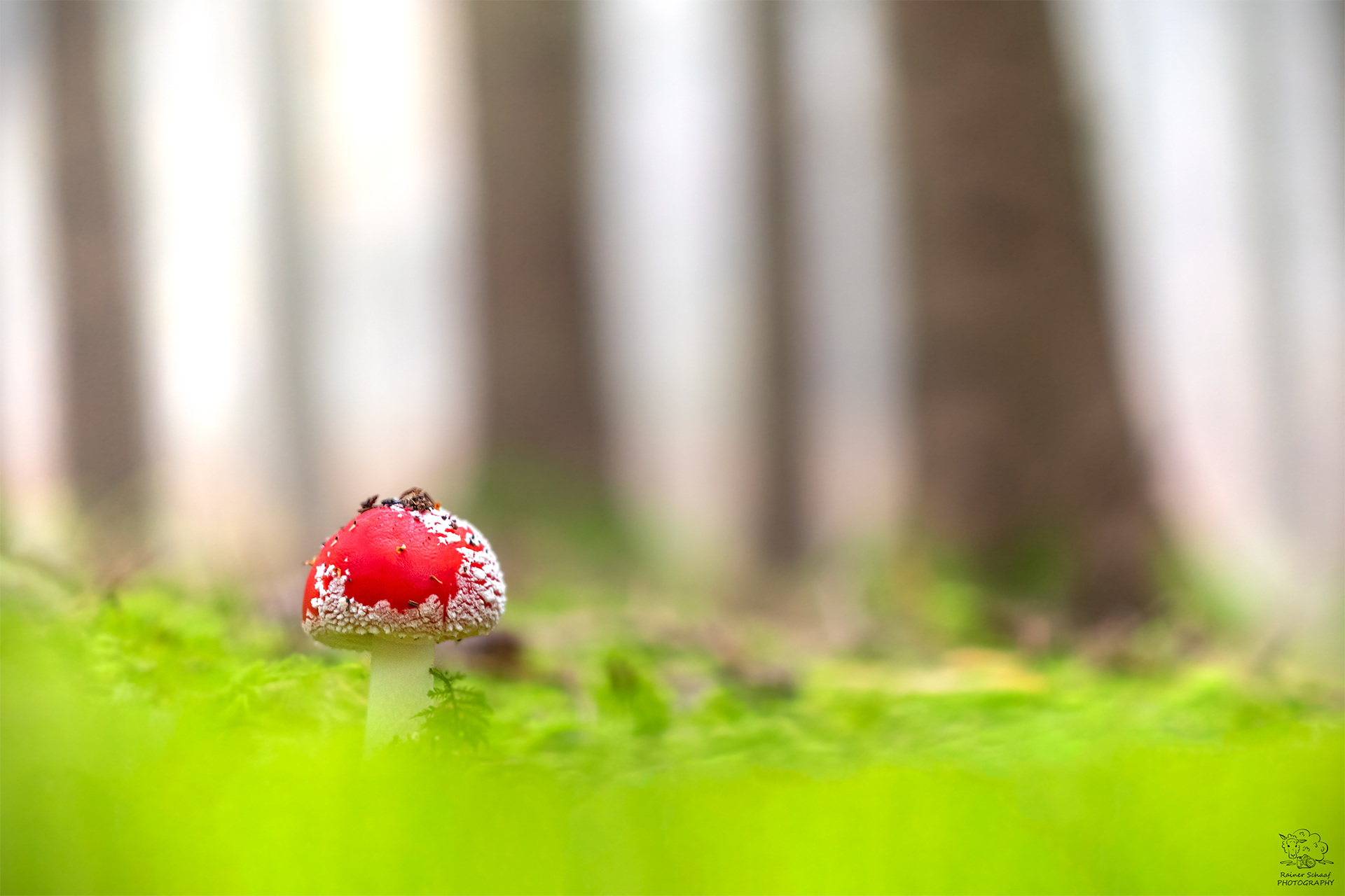 Fliegenpilz in Wald