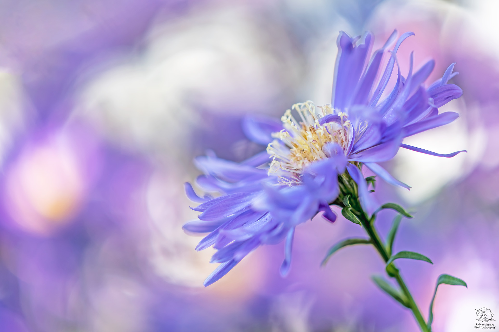 Aster Blüte (Aster) ...