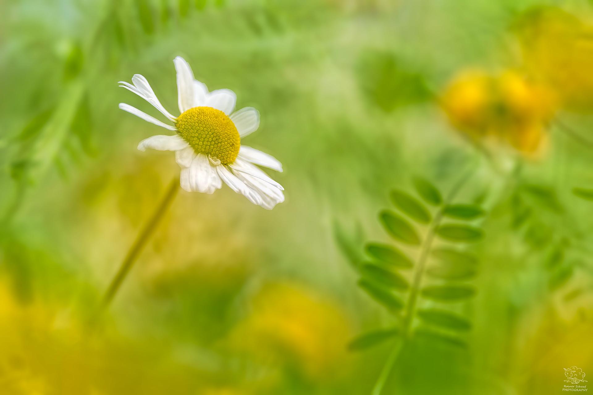Margeriten (Leucanthemum) ...