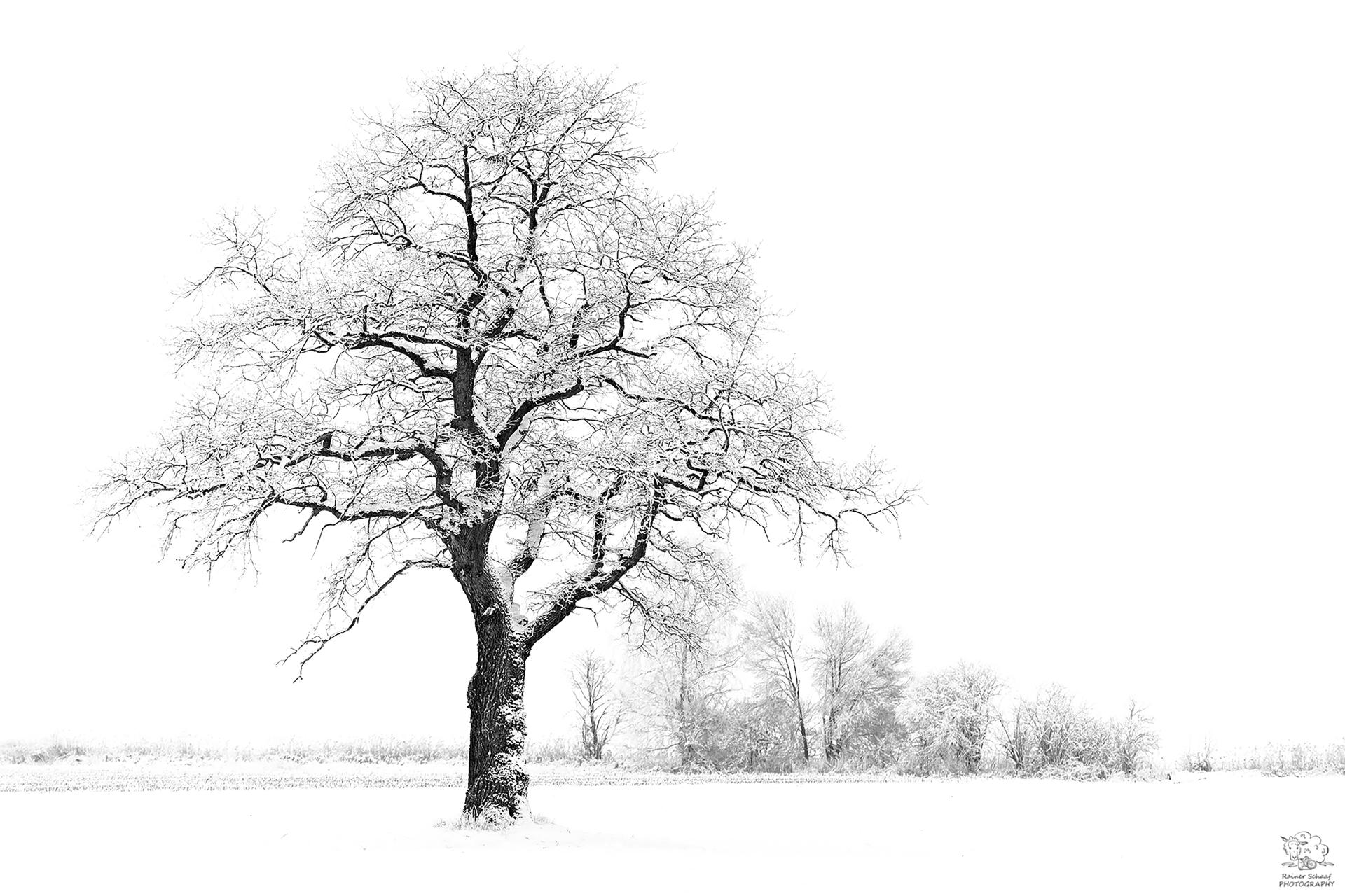 Alte Eiche bei Schnee ...