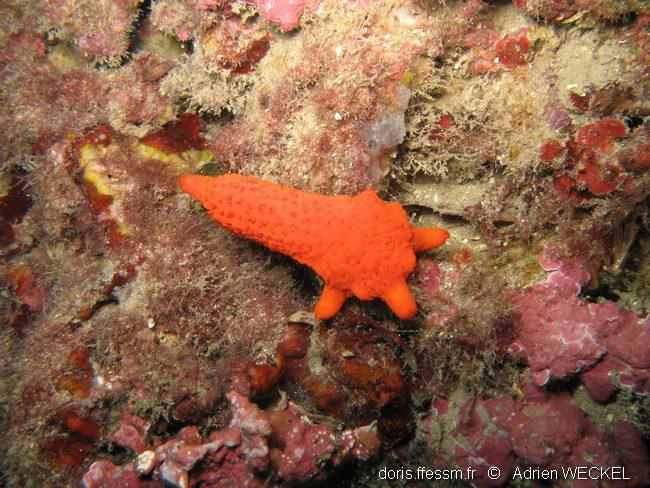 régénération des bras d'une étoile de mer rouge (echinaster sepositus)