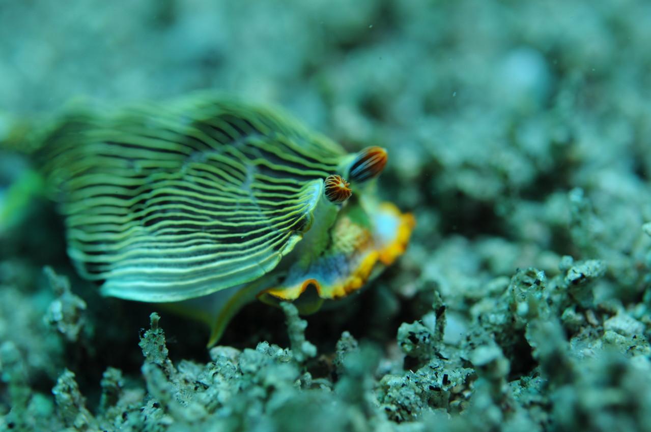 Mollusque opisthobranche armine striée armina, Negros orientales, Philippines