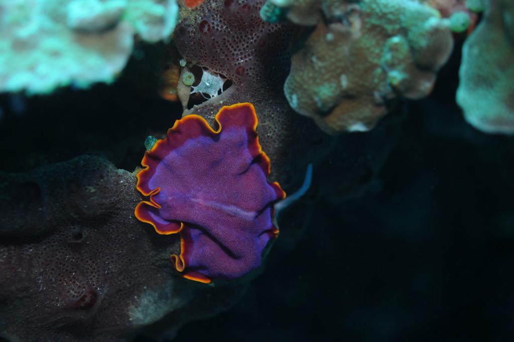 Plathelminthe, Negros orientales, Philippines