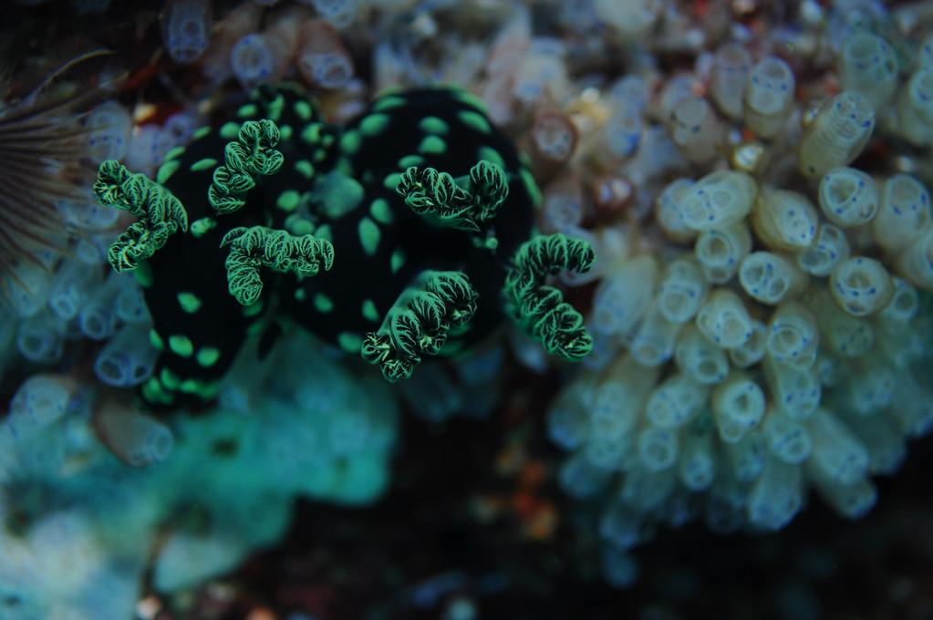 Mollusque opisthobranche nembrotha cristata, Negros orientales, Philippines