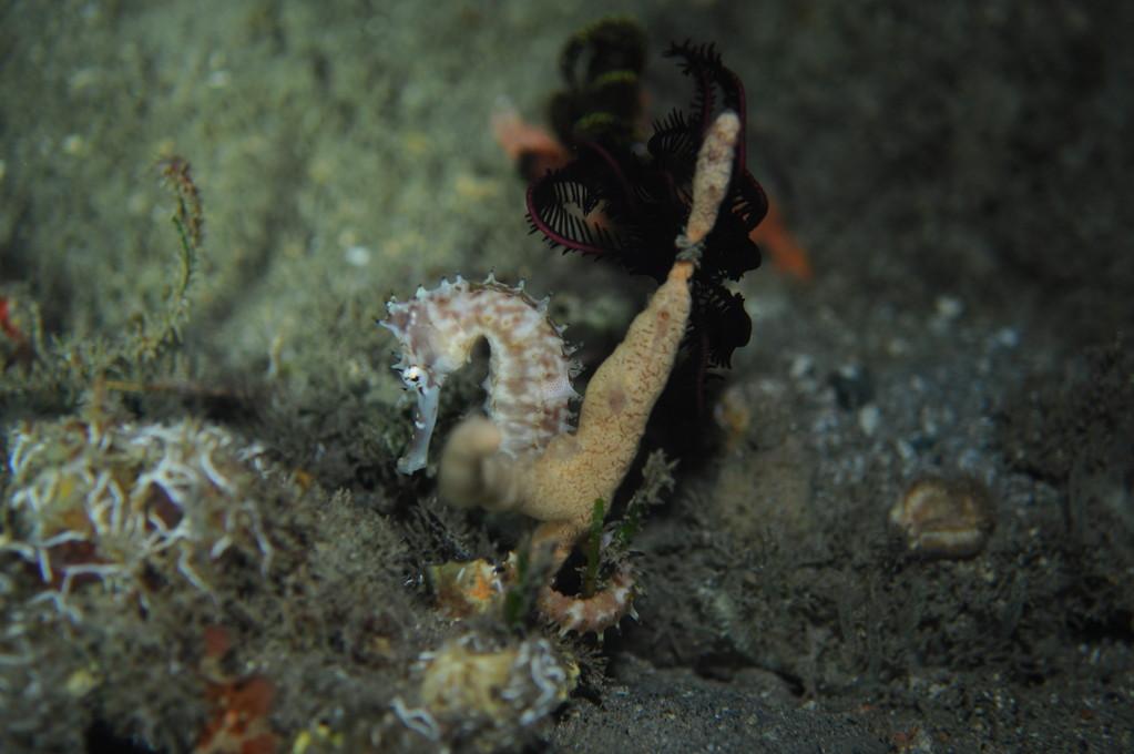 hippocampe indonésien hippocampus taenioterus, Negros orientales, Philippines
