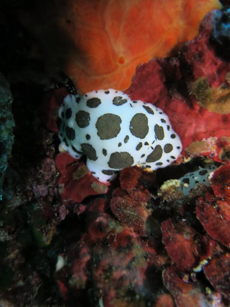 Petrodoris atromaculat, doris dalmatien, Nudibranchia Opisthobranchia Gastropoda Mollusca