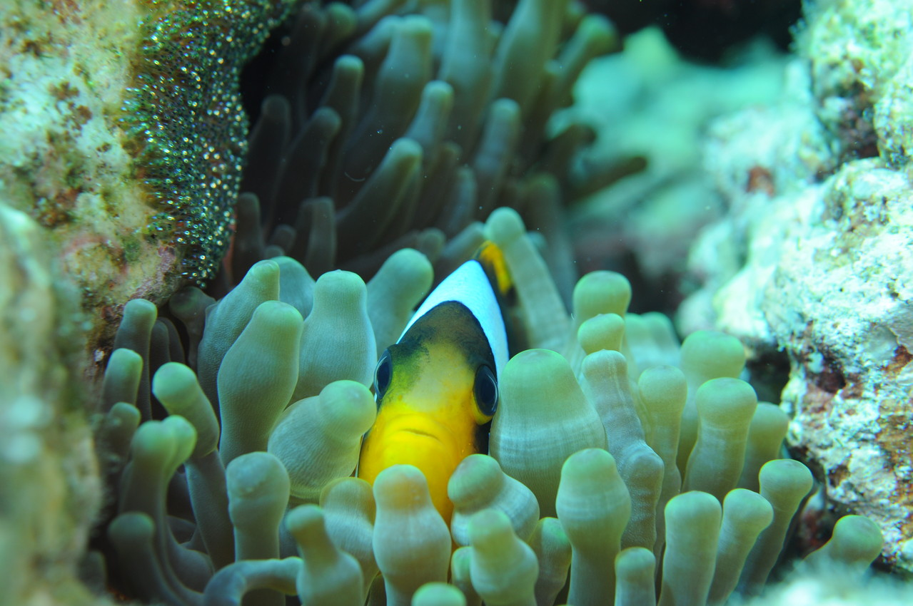 poisson clown    Amphiprion clarkii
