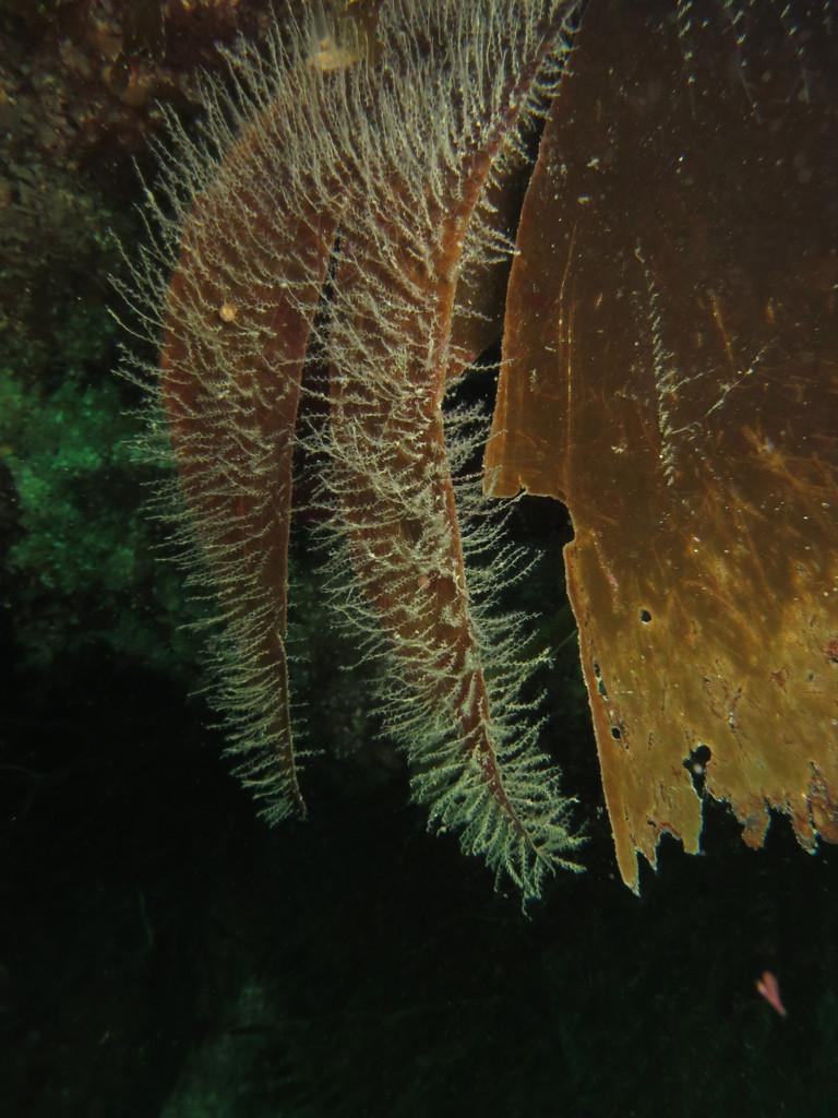 Obélie Obelia geniculata Cnidaires Hydraires - Saint-Cast Côte d'Armor