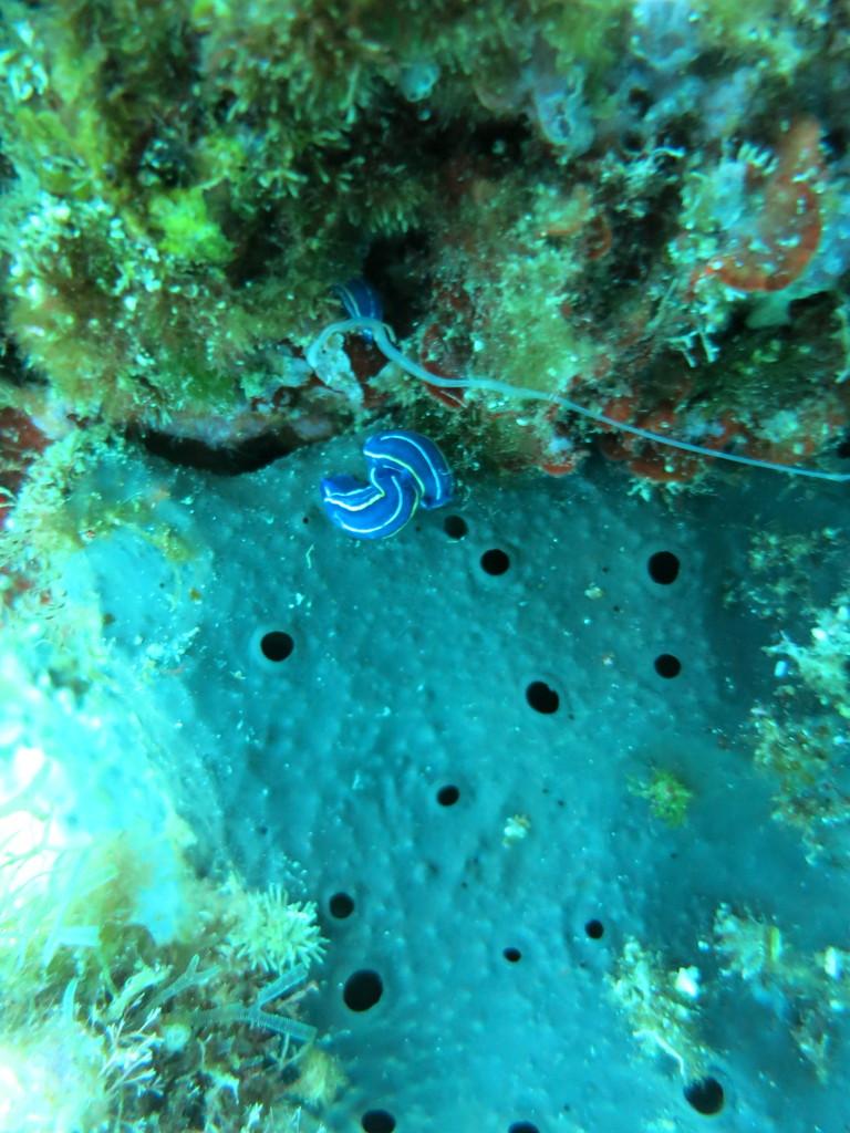 Hypselodoris tricolor, doris tricolore, Chromodorididae Nudibranchia Opisthobranchia Gastropoda Mollusca