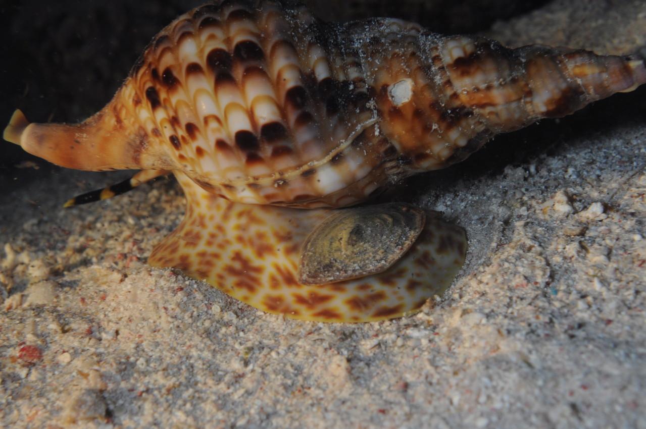triton Charonia tritonis, le prédatreur de l'acanthaster planci (plongée de nuit)