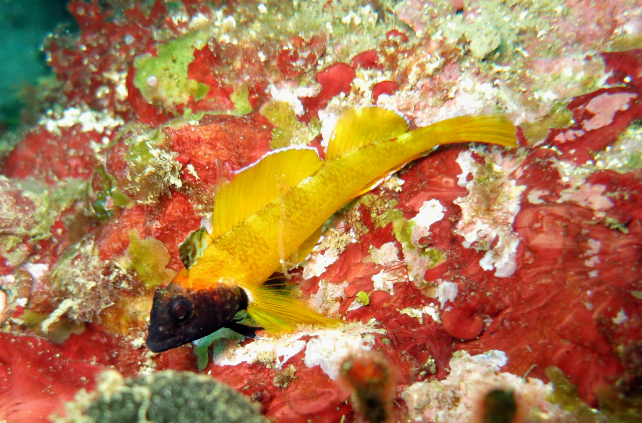 Trypterygion delaisi mâle adulte pendant la fraies ou il aborde cette couleur jaune